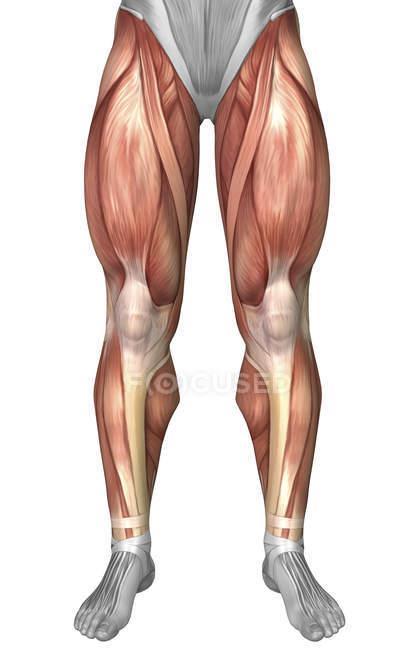Диаграмма, иллюстрирующая группы мышц на передней части ног — стоковое фото