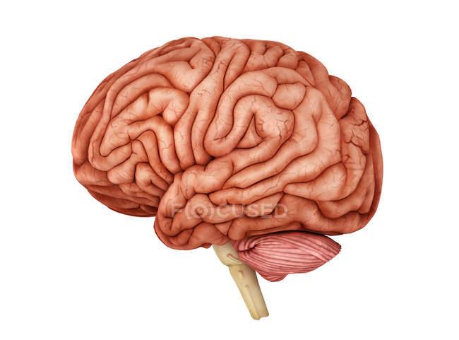 Anatomía del cerebro humano sobre fondo blanco - foto de stock