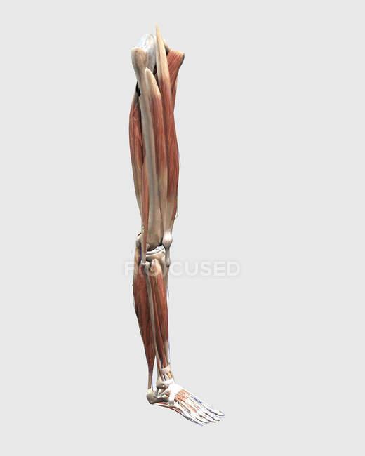 Ilustración médica de los músculos, huesos y articulaciones de las piernas humanas - foto de stock