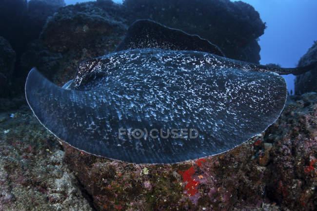 Grande arraia-mancha-preta nadando sobre o fundo do mar rochoso perto da ilha de Cocos, Costa Rica — Fotografia de Stock
