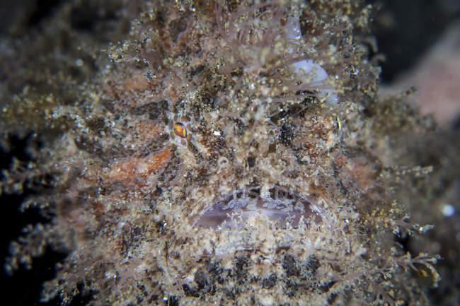 Выстрел в голову крупным планом волосатые frogfish — стоковое фото