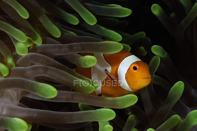 Pesce pagliaccio in anemone verde — Foto stock