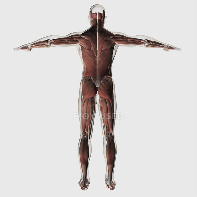 Anatomy Of Male Muscular System On White Background Rear View
