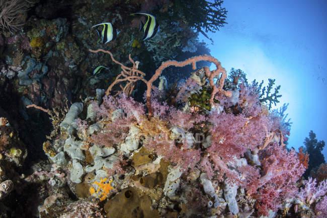 Coralli colorati sulla barriera corallina vicino a Sulawesi — Foto stock