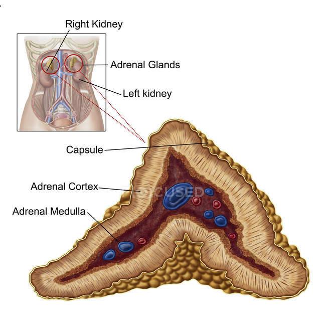 Анатомия надпочечников с ярлыками на белом фоне — стоковое фото