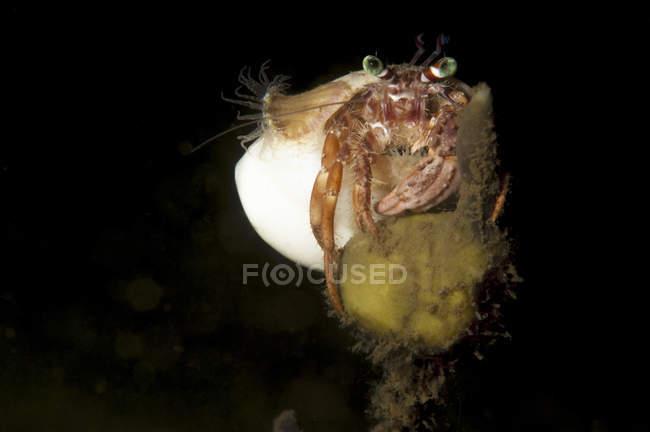 Granchio eremita anemone su corallo — Foto stock
