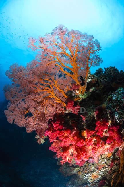 Ventilatore morbido di corallo e mare — Foto stock