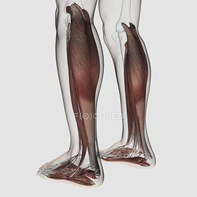 Anatomie du muscle mâle des jambes humaines — Photo de stock