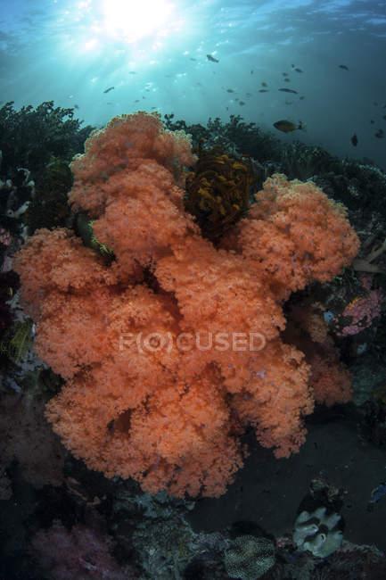 Coralli molli colorati che crescono sulla barriera corallina — Foto stock