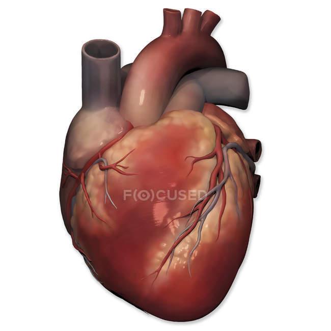Vista anterior del corazón humano - foto de stock
