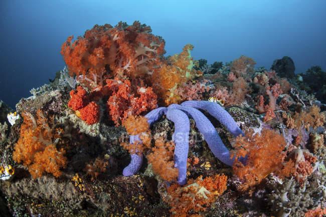 Stelle marine blu aggrappate alla barriera corallina — Foto stock