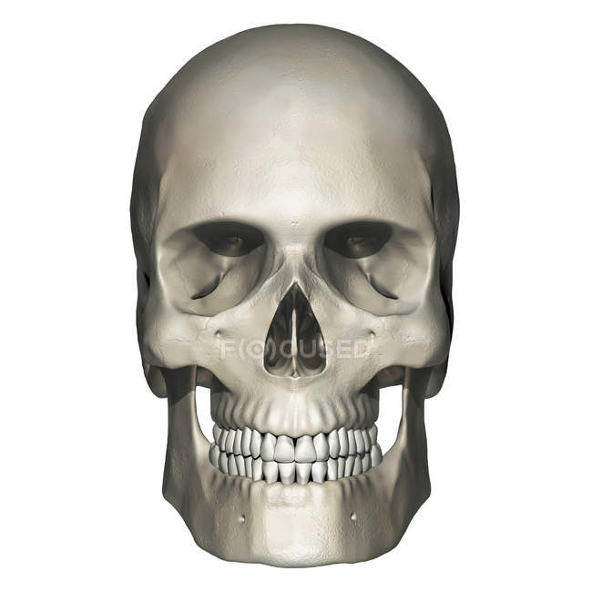 Anatomie des menschlichen Schädels — Stockfoto