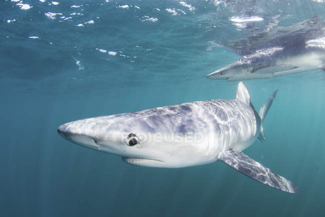 Blue sharks cruising in cold waters — color image, one