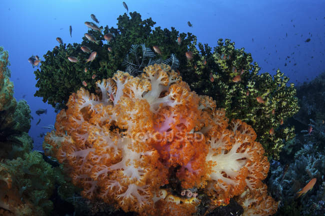 Colonie di coralli molli che crescono sulla barriera corallina — Foto stock