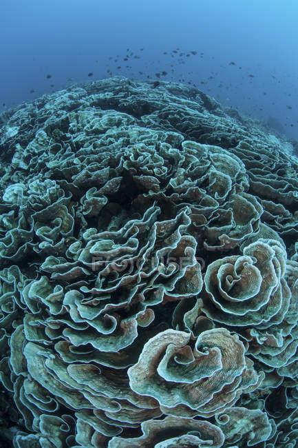I coralli iniziano a candeggiare sulla barriera corallina in Indonesia — Foto stock