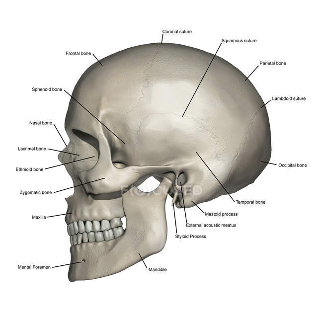 Lateral view of human skull anatomy with annotations — Stock Photo ...