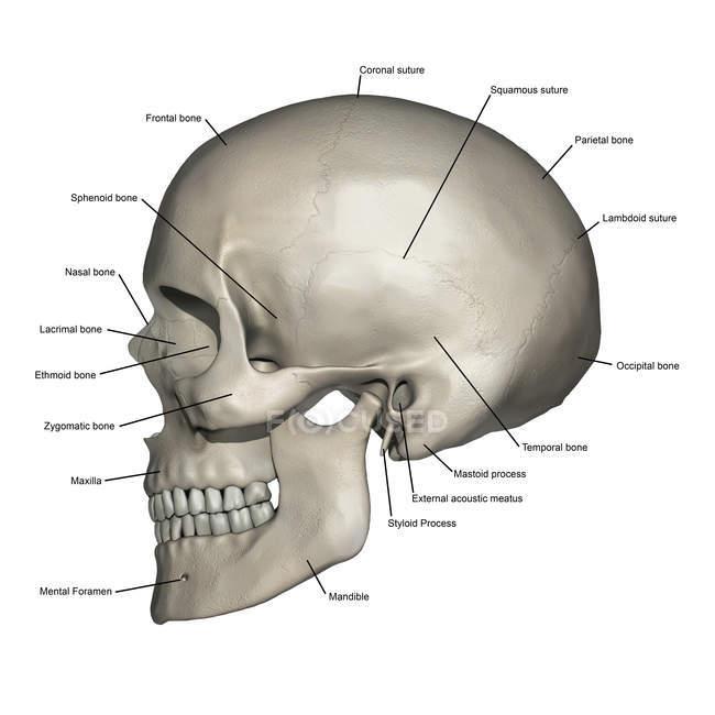 Vista lateral de la anatomía del cráneo humano con anotaciones - foto de stock