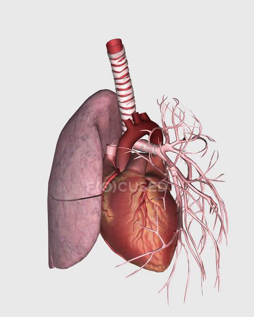 Circulation pulmonaire du cœur et des poumons humains — Photo de stock