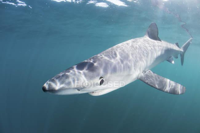 Blue shark swimming near Cape Cod — Stock Photo
