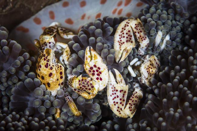 Granchi di porcellana su anemone ospite — Foto stock