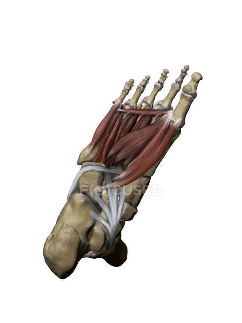 Pie con músculos plantares intermedios y profundos y estructuras óseas - foto de stock