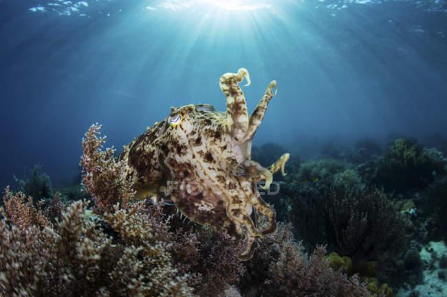 Seiche broadclub planant au-dessus du récif corallien — Photo de stock