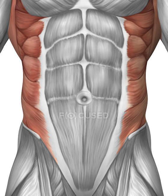 Anatomía muscular masculina de la pared abdominal - foto de stock