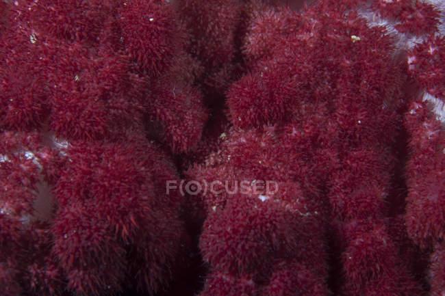 М'яких коралів на риф Фіджійська — стокове фото