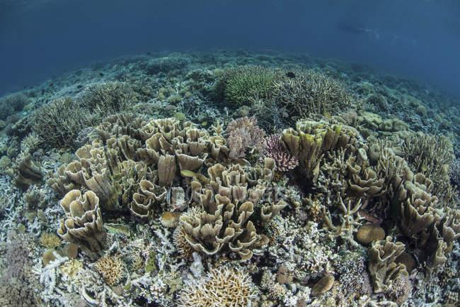 Delicados corales en Arrecife poco profundo - foto de stock