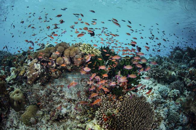Nadando acima os corais de peixes coloridos — Fotografia de Stock