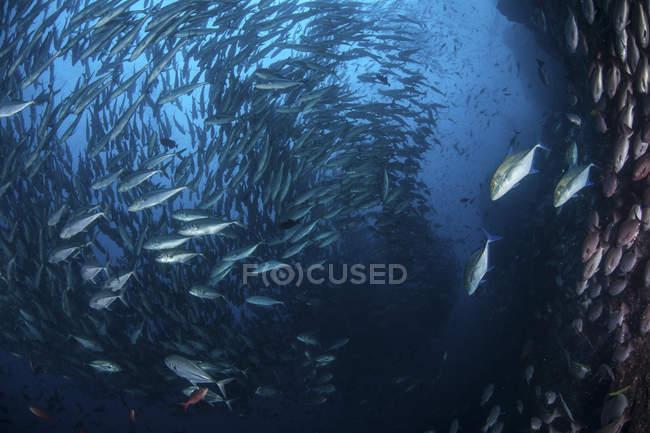 Grande escola de trevally perto da ilha de Cocos — Fotografia de Stock