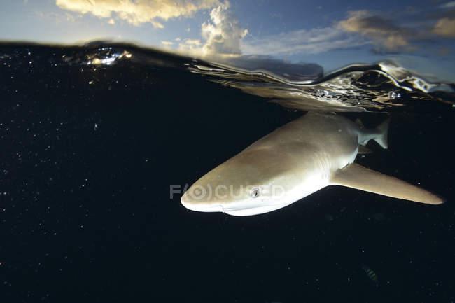 Рифова акула Blacktip під водою — стокове фото
