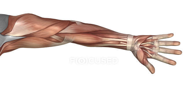 Muscle anatomy of the human arm — Stock Photo