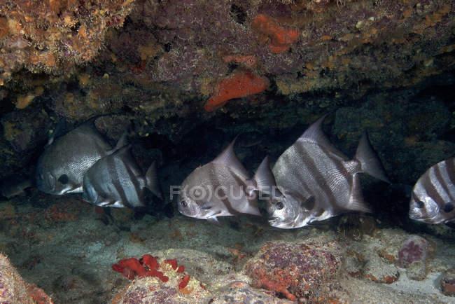 Escuela de pez espada del Atlántico en arrecife de coral - foto de stock