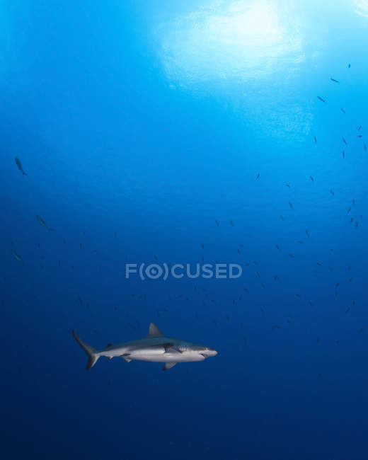 Grey reef shark in blue water — Stock Photo