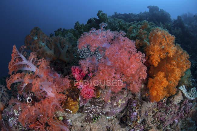 Vibrantes colonias de coral blando en el arrecife en el estrecho de Lembeh, Indonesia - foto de stock