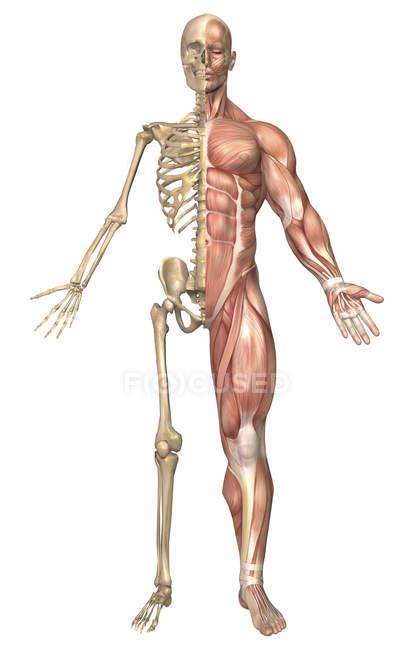 Медичні ілюстрація того, скелет людини і м'язову систему — стокове фото