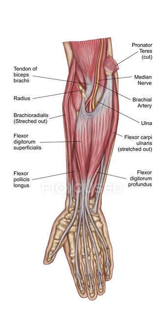 Анатомія людини передпліччя м'язів етикетки — стокове фото