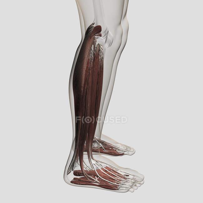 Anatomía muscular masculina de las piernas humanas - foto de stock