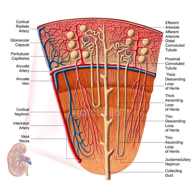 Anatomía de la función renal humana con etiquetas - foto de stock