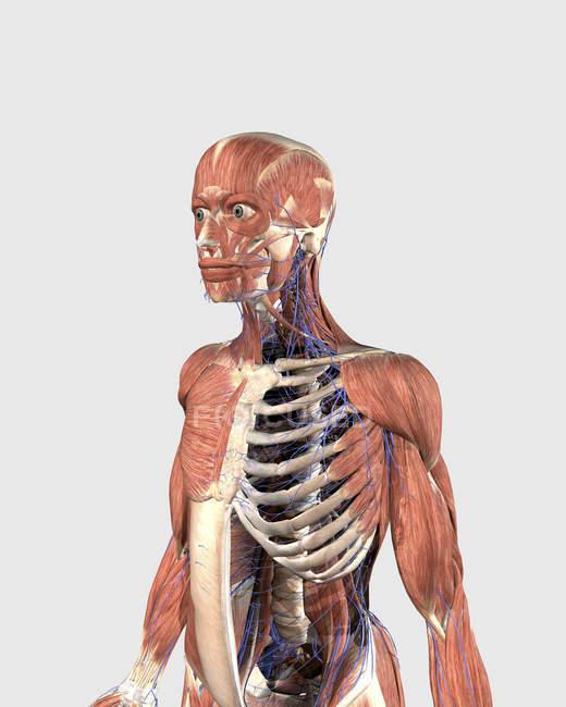 Parte superior del cuerpo humano con partes musculares, esqueleto axial y venas - foto de stock