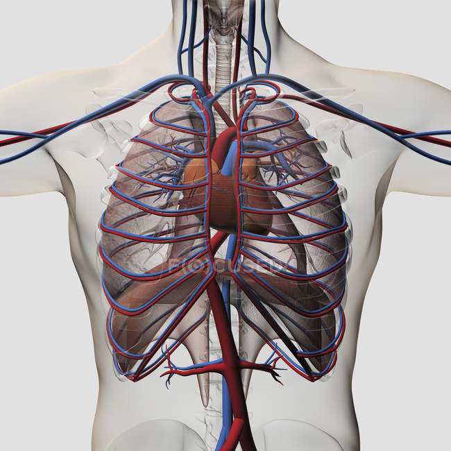 Three dimensional medical illustration of male chest with arteries, veins, heart and rib cage — Stock Photo