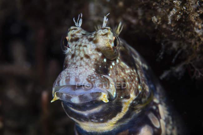 Closeup de Blenio jewelled tiro - foto de stock