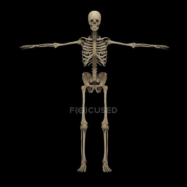 3D rendering of human skeletal system on black background — Stock Photo