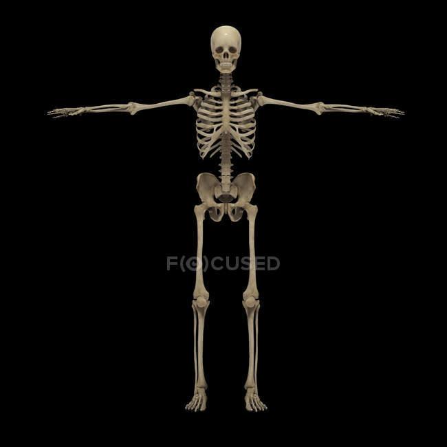 3D-Darstellung des menschlichen Skelettsystems auf schwarzem Hintergrund — Stockfoto