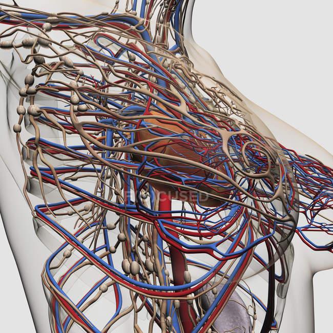 Медичні ілюстрація жіночих грудей артеріях, венах і лімфатичної системи — стокове фото