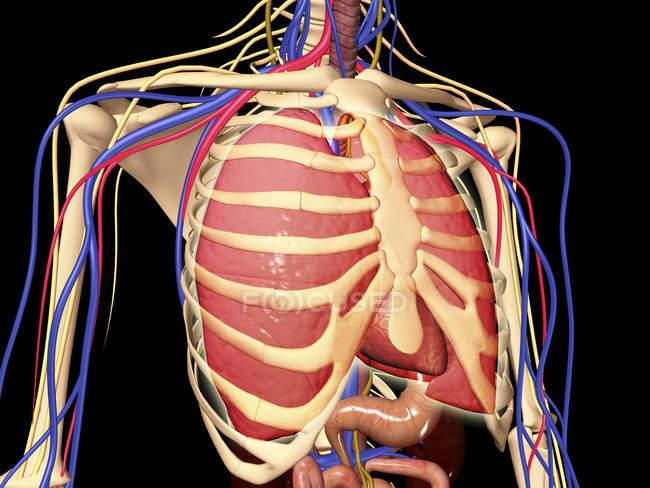 Gabbia toracica umana con polmoni e sistema nervoso — Foto stock