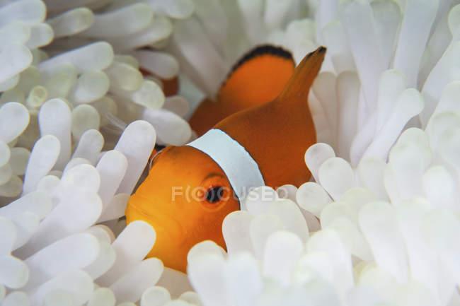 Pesce pagliaccio finto nei tentacoli di anemone — Foto stock