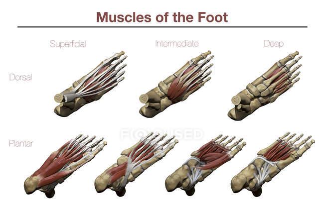 Футів з вищих і нижчих підошовної м'язи і кісткових структур з анотацій — стокове фото
