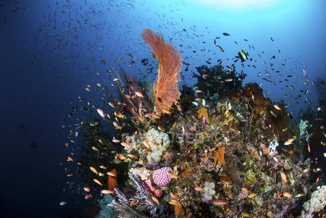 Meeresfächer umgeben von Fischschwärmen — Stockfoto